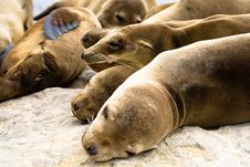 Free Sea Lions Stock Photography - 9869312