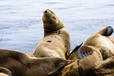 Free Sea Lions Royalty Free Stock Photo - 9869335