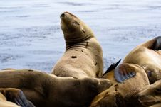 Free Sea Lions Royalty Free Stock Image - 9869356