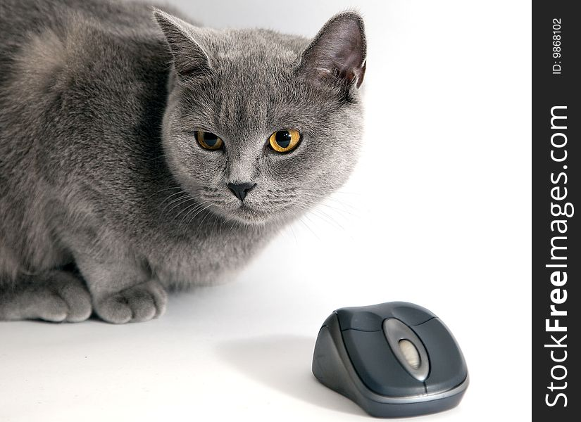 British blue cat with wifi mouse