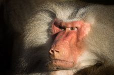 Free Angry Baboon Royalty Free Stock Photo - 98610115