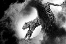 Free Leopard Cat Predator Stock Photos - 98610243