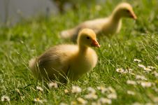 Free Goose Chicks Close Up Stock Images - 98656464