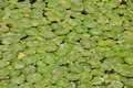 Free Many Water Lily Pads Royalty Free Stock Photo - 9878755