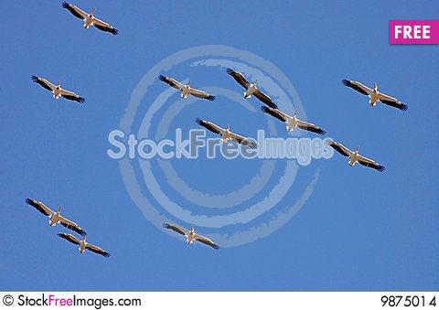 Soaring pelicans Stock Photo