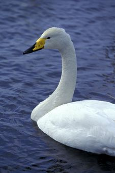 Free Swan Swimming In Water Royalty Free Stock Photography - 9870767