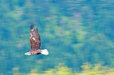 Free Bald Eagle In Flight Royalty Free Stock Images - 9871589