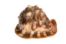 Free Seashell Isolated On White Background Stock Image - 9872811