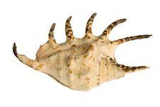 Free Seashell Isolated On White Background Royalty Free Stock Photo - 9872815