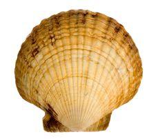 Free Seashell Isolated On White Background Royalty Free Stock Photo - 9872905