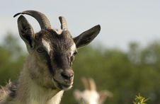 Free Goat Royalty Free Stock Photos - 9873238