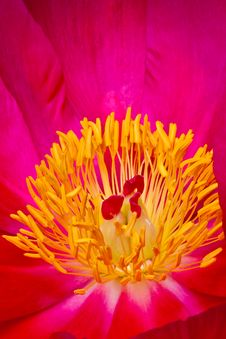 Free Pink And Yellow Anemone Flower Closeup Of Heart Stock Image - 9873841