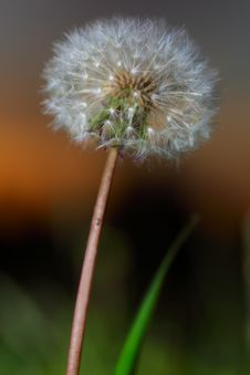 Free Dandelion Stock Photos - 9873873