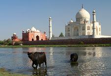 Free Taj Mahal Royalty Free Stock Image - 9874626