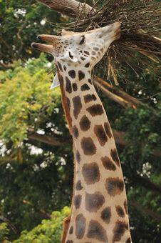 Free Giraffe Stock Photo - 9875910