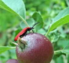 Free Red Bug. Stock Images - 9876534