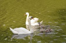 Free Swan Family Royalty Free Stock Image - 9877326
