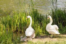 Free Swan Family Royalty Free Stock Image - 9877396