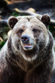 Free Grizzly Bear Stock Images - 9877654