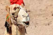 Free Close-up Camel Stock Photos - 9877673