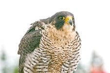Free Falcon Stock Photo - 9877990