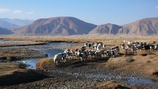 Free Sheep With Brook And Mountains In Tibet Stock Photo - 9878070
