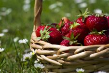 Free Strawberries Royalty Free Stock Photo - 9878385