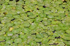 Many Water Lily Pads Royalty Free Stock Photo