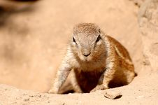 Free Prairie Dog Stock Photo - 9879450