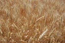 Free Golden Wheat Fields Royalty Free Stock Image - 9879616