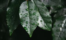 Free Drops Gray Green Leaves Stock Image - 98749491