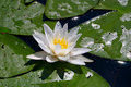 Free Lily Royalty Free Stock Image - 9880596