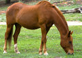 Free Grazing Red Horse Stock Photos - 9885813