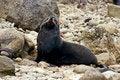 Free Seal On The Rocks Stock Photos - 9887273