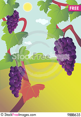 Grapevine bunch on vine. Stock Photo