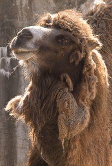 Free Posing Camel Stock Image - 9880441