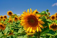 Free Sunflower Royalty Free Stock Photography - 9880757