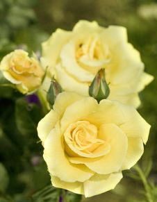 Free Yellow Pastell Coloured Rose. Stock Photography - 9882662
