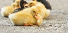 Free Sleepy Duckling Royalty Free Stock Image - 9882746
