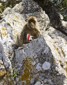 Free Barbary Macaque Stock Photography - 9882882