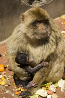 Free Barbary Macaque Stock Photo - 9883010