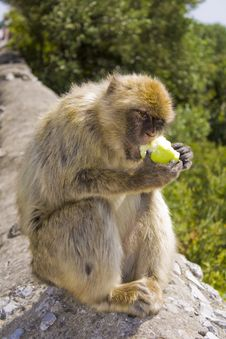 Free Barbary Macaque Royalty Free Stock Photos - 9883048