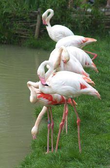 Free Row Of Greater Flamingos Stock Photos - 9883423
