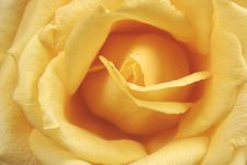 Yellow Rose Macro Stock Photos