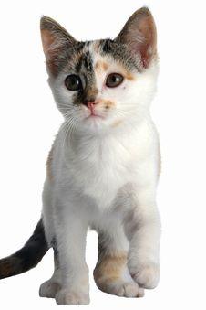 Free Kitten Cute Isolated Royalty Free Stock Photos - 9886788