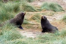 Free Two Seals In The Tussock Royalty Free Stock Photo - 9887245