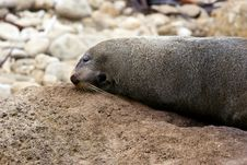 Free Seal Laying On A Rock Royalty Free Stock Image - 9887276