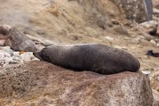 Free Seal Rests On A Rock Stock Photo - 9887280