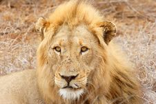 Free Male African Lion Royalty Free Stock Image - 9888766