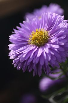 Free Flower, Aster, Purple, Flora Stock Images - 98850964